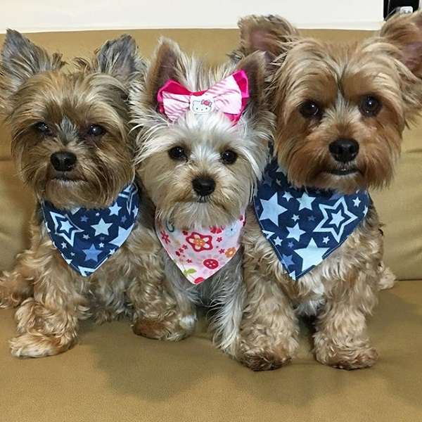 yorkies on instagram pet
